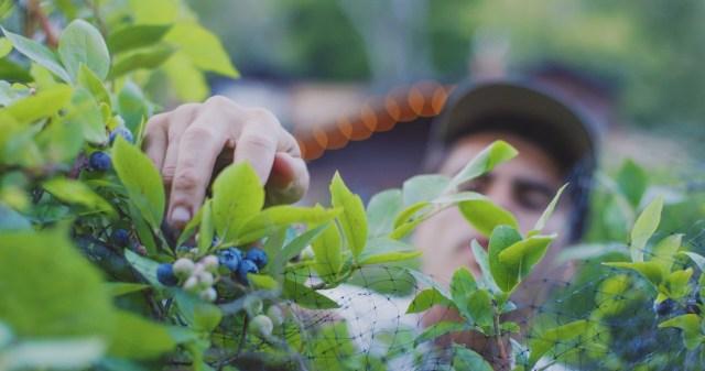 Cyrus Sutton Berries